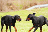 Two doberman pinscher — Stock Photo