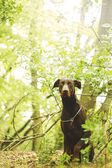 Doberman pinscher dog in spring nature — Stock Photo