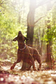 Doberman pinsher in sunset nature — Stock Photo