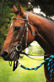 Racehorse — Stock Photo