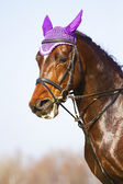 Portrait of a racehorse thoroughbred stallion — Stock Photo