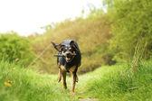 Dog in spring nature walking Czechoslovakian wolfdog — Stock fotografie