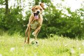 Fun pointer puppy dog running — Stock Photo