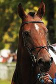 Portrait of a racehorse stallion thoroughbred — Stock Photo