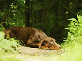 Doberman is sad in the woods — Stock Photo