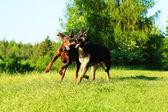 German shepherd puppy and brown doberman pinscher running — Stock Photo