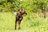 Fun brown doberman pinscher dog running with pheasant — Stock Photo