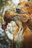 Rhodesian ridgeback dog hunting — Stock Photo