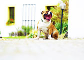 Boredom sitting english bulldog puppy yawns — Stockfoto