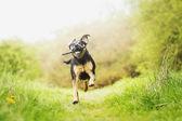 Fun rottweiler puppy running — Stock Photo