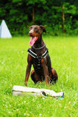 Brown doberman pinscher dog defense and protection — Stock Photo
