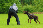 Helper and angry brown Doberman pinscher in defense — Stock Photo