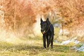 Fun german shepherd puppy dog running in nature — Stock Photo