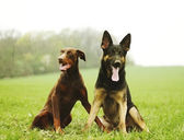 Two dog brown doberman pinscher and fun german shepherd puppy in — Stock Photo