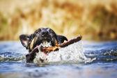 Eğlenceli bir Alman çoban köpeği köpek yavrusu gezen göle — Stok fotoğraf