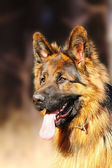 Fun long haired beauty german shepherd outdoors — Stock Photo