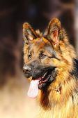 Fun long haired beauty german shepherd outdoors — Stock Photo