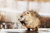 Nutria in outdoors — Stock Photo