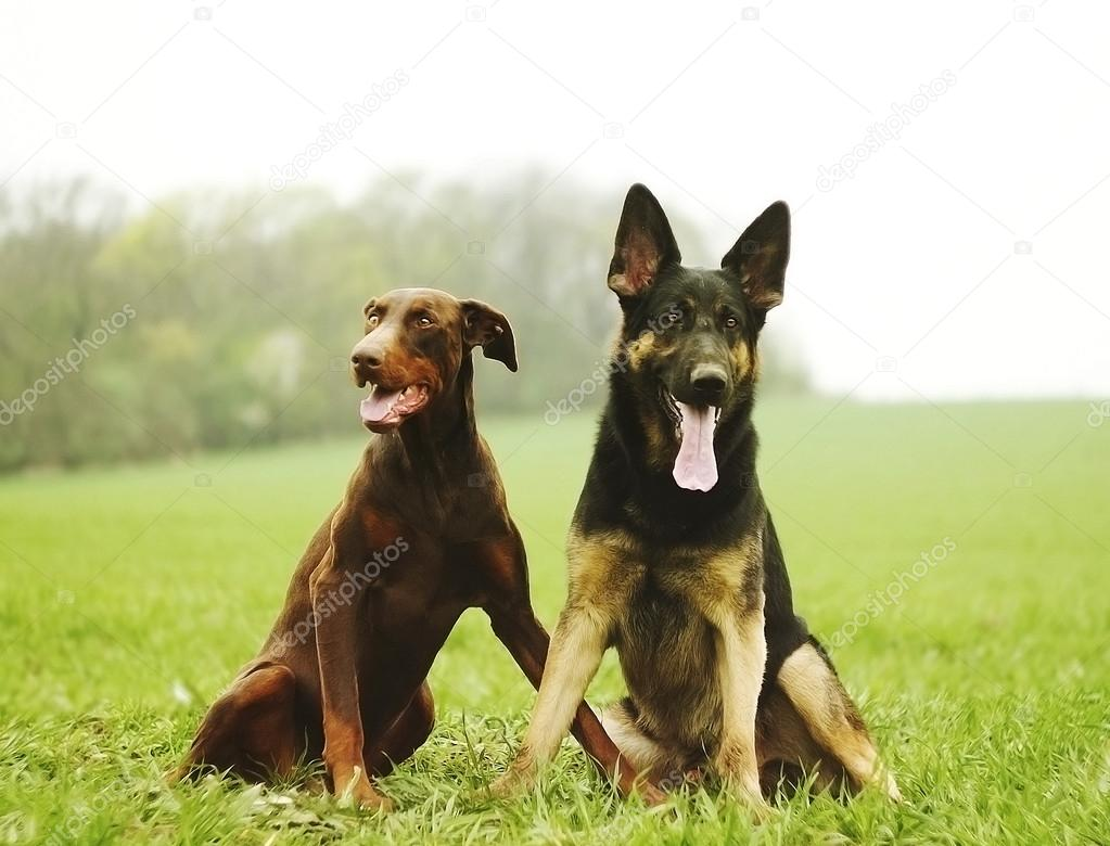 Two dog brown doberman pinscher and fun german shepherd puppy in    Doberman German Shepherd Puppy