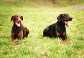 Happy black  brown doberman pinscher dogs lie waiting in the mea — Stock Photo