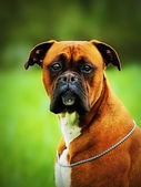Portrait fun beautiful german boxer dog puppy outdoors — Stock Photo