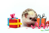 Fun birthday young hedgehog baby — Stock Photo