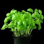 Fresh basil plant in black pot on black background — Stock Photo
