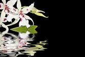 Inflorescence of white orchids and water reflection — Stockfoto