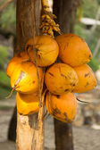 Yellow Coconuts — Stock Photo