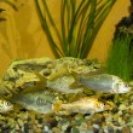 River fish — Stock Photo #47040811