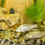 River fish — Stock Photo #47040813