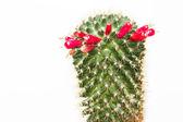 Kaktus frucht — Stockfoto