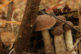 Birch mushroom — Stock Photo