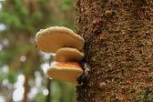 Perkoz na drzewie — Photo
