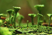 Tubular moss in the macro — Stock Photo