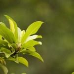 Sapodilla leaves on blurred background. — Stock Photo