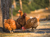 Chicken farm - Stock Image — Foto de Stock