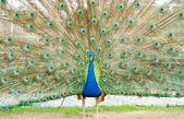 Portrait of Peacock  — Stock Photo