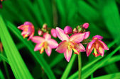Spathoglottis Plicata pink orchids in the garden. — Stock Photo