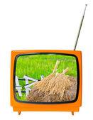 Bunch of paddy jasmine rice  — Stock Photo