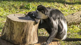Colobus monkey resting on a tree trunk — Stock Photo