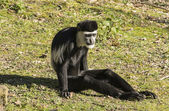 Colobus monkey — Foto Stock