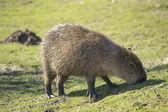 Capybara — Stock Photo