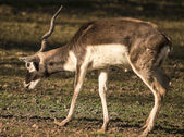 Blackbuck with one antler — Stock Photo