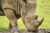 Vit noshörning — Stockfoto