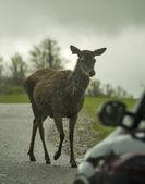 Jeleń przed samochód — Zdjęcie stockowe