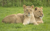 Two female lions — Stock Photo