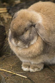 Tired lop rabbit — Stock Photo