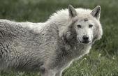 Hout wolf — Stockfoto