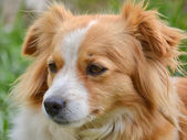Cute cross-breed dog — Stock Photo